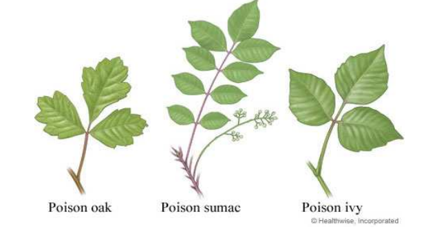 poison ivy poison oak